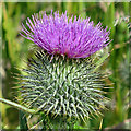 NO6948 : Spear Thistle (Cirsium vulgare) by Anne Burgess
