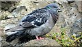 J4187 : Feral pigeon, Carrickfergus - August 2015(2) by Albert Bridge