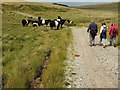 SX6089 : Belted Galloways by the military road by Derek Harper