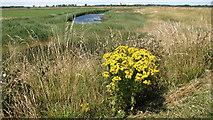 TG4001 : Flowering ragwort beside the path by Evelyn Simak