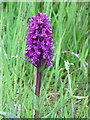 NJ2155 : Northern Marsh Orchid (Dactylorhiza purpurella) by Anne Burgess