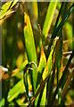 SU2778 : Leaf of the wheat plant, Baydon, Wiltshire by Edmund Shaw