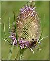SE8629 : Bee on a teasel by Paul Harrop