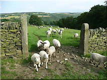 SE0322 : Young sheep near Upper Field House by Humphrey Bolton