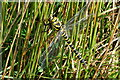 SX6173 : Golden-Ringed Dragonfly (Cordulegaster boltonii) by jeff collins