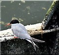 J3474 : Tern, Lagan Weir, Belfast - August 2015(3) by Albert Bridge