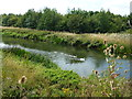 TL0894 : Swans on The River Nene at Elton by Richard Humphrey