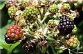 J3470 : Blackberries, Lagan towpath, Stranmillis, Belfast (August 2015) by Albert Bridge