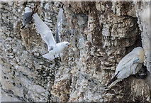 TA1974 : Gannets and Kittiwakes, Bempton Cliffs, Yorkshire by Christine Matthews