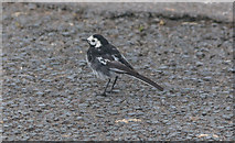 TA1281 : Pied Wagtail, North Cliff Country Park, Yorkshire by Christine Matthews