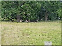 SJ5509 : Fallow deer on the Attingham Estate by Richard Law
