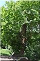 TQ5345 : An ancient Chestnut tree, Penshurst Park by N Chadwick