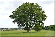 TQ5244 : Oak tree, Penshurst Park by N Chadwick