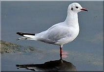 J3473 : Black-headed gull, River Lagan, Belfast (August 2015) by Albert Bridge