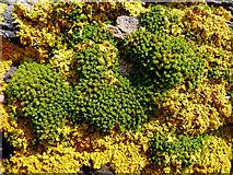 NH7662 : Lichen and coastal plants, Black Isle by Julian Paren
