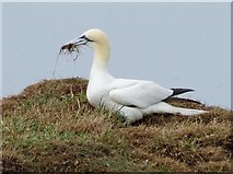 TA1974 : Gannet  looking  for  nesting  material  (3)  Bempton  Cliffs by Martin Dawes