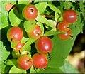 J4078 : Tutsan berries, Glenlyon, Holywood -  August 2015(1) by Albert Bridge