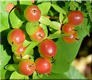 J4078 : Tutsan berries, Glenlyon, Holywood -  August 2015(1) by Albert Bridge