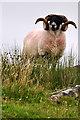 SX5480 : West Devon : Dartmoor Sheep by Lewis Clarke