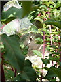 SO7292 : Nursery Web Spider in Bridgnorth by Richard Law
