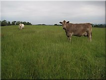 SO8843 : A bull and a cow by Philip Halling