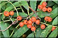 J3675 : Rowan berries, Victoria Park, Belfast (August 2015) by Albert Bridge