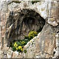 SH7883 : Yellow flowers in a cave by Gerald England