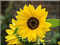 TQ1478 : Sunflower, Kitchen Garden, Osterley Park, London by Christine Matthews