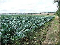 SE3513 : Field of brassicas, north of Notton by Christine Johnstone