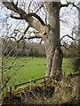 SP0712 : Tree by the Monarch's Way by Derek Harper
