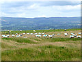 NY7011 : Sheep grazing near Whygill Head by Oliver Dixon