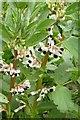 SU4590 : Broad beans in flower by Wood's Farm by Steve Daniels
