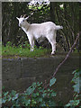 SD5174 : A goat at Tewitfield Locks by Karl and Ali
