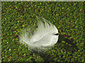 SD5285 : A swan's feather on the Lancaster Canal by Karl and Ali