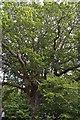 TQ5345 : A mighty Oak by N Chadwick