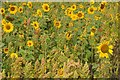 SP2337 : Sunflowers by Philip Halling