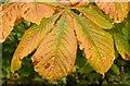 J4079 : Autumn chestnut leaves, Holywood (September 2015) by Albert Bridge