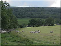 SD9771 : Sheep at Hawkswick Head by Stephen Craven