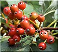 J4482 : Rowan berries, Helen's Bay (September 2015) by Albert Bridge