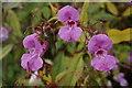 SD6709 : Himalayan balsam by Bill Boaden