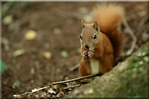 SZ5785 : Male Squirrel at Alverstone Mead by Peter Trimming