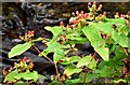 J4681 : Tutsan berries, Crawfordsburn - September 2015(3) by Albert Bridge
