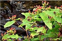 J4681 : Tutsan berries, Crawfordsburn - September 2015(3) by Albert Bridge