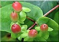 J4581 : Tutsan berries, Helen's Bay - September 2015(1) by Albert Bridge