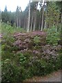 NH9809 : Heather and trees in Glenmore Forest Park by Graham Robson