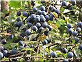 TQ1282 : Sloes in hedge by canal towpath, Southall by David Hawgood
