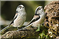 SS9869 : Long-tailed Tits by Mick Lobb