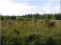NY5284 : Heather and young trees by Richard Webb