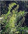 SS6227 : Ferns, Summermoor Lane by Derek Harper