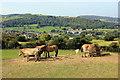 SH8378 : Przewalski's Horse at the Welsh Mountain Zoo by Jeff Buck
